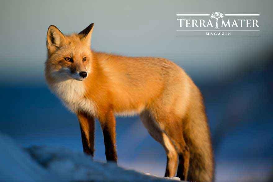 roter Fuchs im Schnee - webdesign für red bull terra mater als Kunde von slidebird